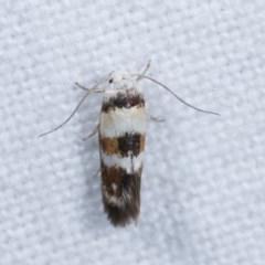 Oecophoridae (family) at Melba, ACT - 15 Nov 2020