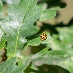 Harmonia conformis (Common Spotted Ladybird) at Amaroo, ACT - 8 Dec 2020 by RichForshaw