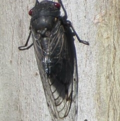 Psaltoda moerens (Redeye Cicada) at Woodstock Nature Reserve - 6 Dec 2020 by RobParnell
