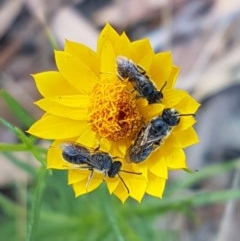 Lasioglossum (Chilalictus) lanarium (Halictid bee) at City Renewal Authority Area - 8 Dec 2020 by tpreston