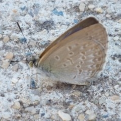 Zizina otis (Common Grass-blue) at City Renewal Authority Area - 8 Dec 2020 by tpreston