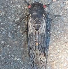 Psaltoda moerens (Redeye Cicada) at O'Connor, ACT - 8 Dec 2020 by tpreston