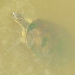 Emydura macquarii at Jerrabomberra Wetlands - 8 Dec 2020