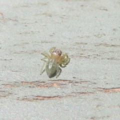 Salticidae (family) (Unidentified Jumping spider) at Fyshwick, ACT - 8 Dec 2020 by Christine