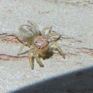 Salticidae (family) at Jerrabomberra Wetlands - 8 Dec 2020