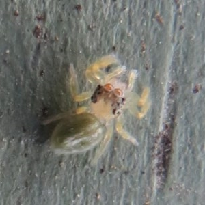 Salticidae (family) at Jerrabomberra Wetlands - 8 Dec 2020