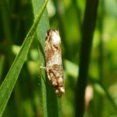 Crocidosema plebejana (Cotton Tipworm Moth) at Flea Bog Flat, Bruce - 9 Dec 2020 by tpreston