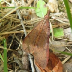 Uresiphita ornithopteralis (Tree Lucerne Moth) at Flynn, ACT - 5 Dec 2020 by Christine