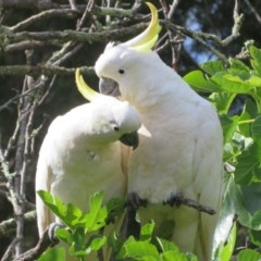 Cacatua galerita (Sulphur-crested Cockatoo) at Flynn, ACT - 7 Dec 2020 by Christine