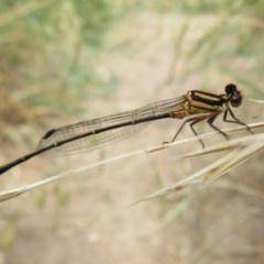 Nososticta solida (Orange Threadtail) at Jerrabomberra Wetlands - 7 Dec 2020 by Christine
