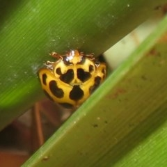 Harmonia conformis (Common Spotted Ladybird) at Flynn, ACT - 8 Dec 2020 by Christine