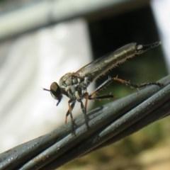 Cerdistus varifemoratus (Robber fly) at Flynn, ACT - 8 Dec 2020 by Christine