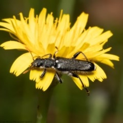 Eleale simplex (Clerid beetle) at ANBG - 8 Dec 2020 by Roger
