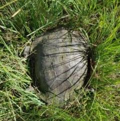 Chelodina longicollis (Eastern Long-necked Turtle) at Melba, ACT - 9 Dec 2020 by byomonkey