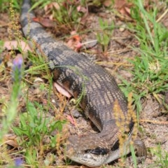 Tiliqua scincoides scincoides (Eastern Blue-tongue) at Tuggeranong DC, ACT - 3 Dec 2020 by Harrisi