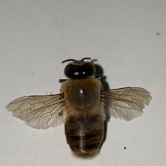 Apis mellifera (European honey bee) at Majura, ACT - 9 Dec 2020 by Ghostbat