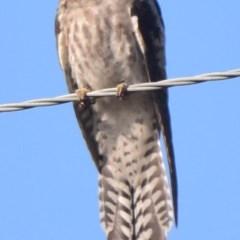Cacomantis pallidus (Pallid Cuckoo) at Lower Boro, NSW - 4 Dec 2020 by mcleana