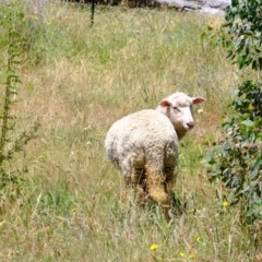 Ovis aries (Sheep) at Sherwood Forest - 9 Dec 2020 by Kurt