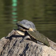 Chelodina longicollis (Eastern Long-neck Turtle) at Tidbinbilla Nature Reserve - 9 Dec 2020 by davidcunninghamwildlife