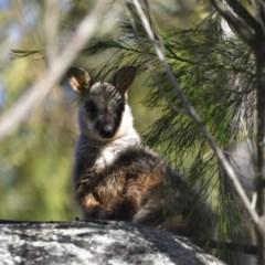 Petrogale penicillata (Brush-tailed Rock Wallaby) at Tidbinbilla Nature Reserve - 9 Dec 2020 by davidcunninghamwildlife