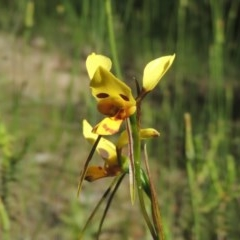 Diuris sulphurea (Tiger orchid) at Tuggeranong Hill - 3 Nov 2020 by michaelb