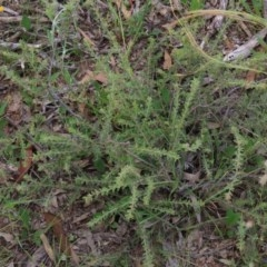 Acacia gunnii (Ploughshare Wattle) at Wandiyali-Environa Conservation Area - 27 Nov 2020 by AndrewZelnik
