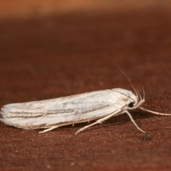 Philobota productella (Pasture Tunnel Moth) at Melba, ACT - 15 Nov 2020 by kasiaaus