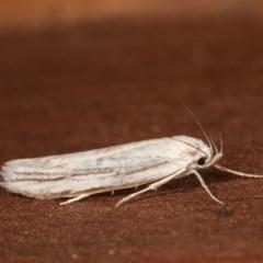 Philobota productella (Pasture Tunnel Moth) at Melba, ACT - 15 Nov 2020 by kasiaaus