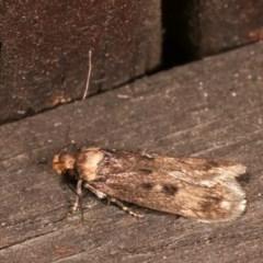 Barea (genus) (A concealer moth) at Melba, ACT - 15 Nov 2020 by kasiaaus