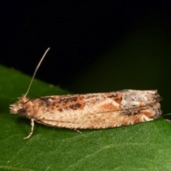 Crocidosema plebejana (Cotton Tipworm Moth) at Melba, ACT - 15 Nov 2020 by kasiaaus