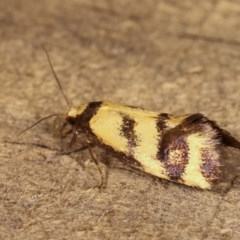Olbonoma triptycha (Concealer moth) at Melba, ACT - 15 Nov 2020 by kasiaaus