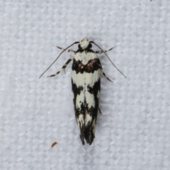Cosmopterigidae (family) (Unidentified cosmet moth) at Melba, ACT - 15 Nov 2020 by kasiaaus