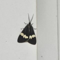 Nyctemera amicus (Senecio or Magpie moth) at Aranda, ACT - 8 Dec 2020 by KMcCue