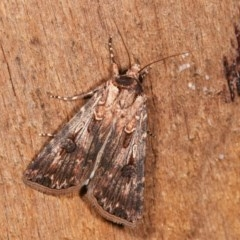 Agrotis munda (Brown Cutworm) at Melba, ACT - 15 Nov 2020 by kasiaaus
