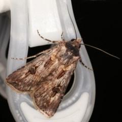 Agrotis munda (Brown Cutworm) at Melba, ACT - 15 Nov 2020 by kasiaaus