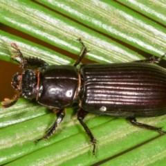 Aulacocyclus edentulus (Passalid beetle) at Melba, ACT - 15 Nov 2020 by kasiaaus