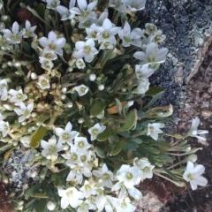 Montia australasica at Namadgi National Park - 9 Dec 2020
