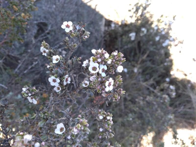 Leptospermum namadgiensis at Namadgi National Park - 9 Dec 2020