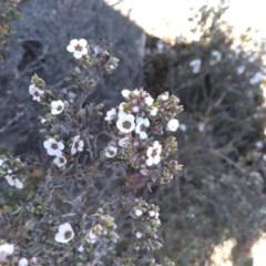 Leptospermum namadgiensis (Tea Tree) at Namadgi National Park - 8 Dec 2020 by Greggy