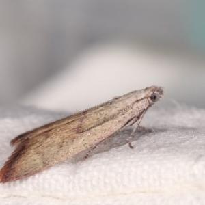 Callionyma sarcodes at Melba, ACT - 15 Nov 2020