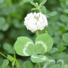 Trifolium repens (White Clover) at Wamboin, NSW - 9 Oct 2020 by natureguy