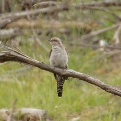 Cacomantis pallidus (Pallid Cuckoo) at Penrose State Forest - 10 Dec 2020 by Snowflake
