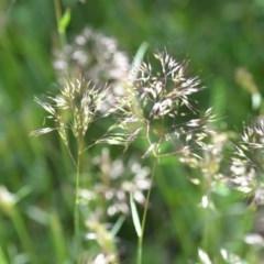 Pentaschistis airoides (False Hairgrass) at Wamboin, NSW - 9 Oct 2020 by natureguy