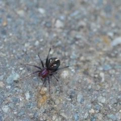 Habronestes bradleyi (Bradley's ant-eating spider) at Wamboin, NSW - 11 Oct 2020 by natureguy