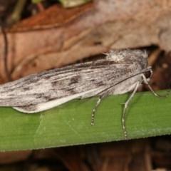 Capusa senilis (Black-banded Wedge-moth) at Melba, ACT - 15 Nov 2020 by kasiaaus