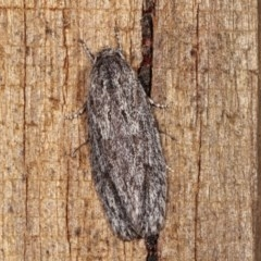 Agriophara undescribed species at Melba, ACT - 15 Nov 2020 by kasiaaus