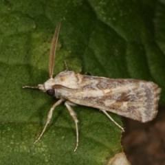 Eremochroa alphitias (Pale X-o Moth) at Melba, ACT - 15 Nov 2020 by kasiaaus
