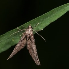 Phrissogonus laticostata (Apple looper moth) at Melba, ACT - 15 Nov 2020 by kasiaaus