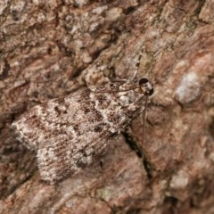 Scoparia syntaracta (A Pyralid moth) at Melba, ACT - 15 Nov 2020 by kasiaaus