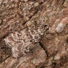 Scoparia syntaracta (A Pyralid moth) at Melba, ACT - 15 Nov 2020 by kasiaaus
